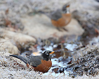 Two robins getting a frosty early morning drink in winter.