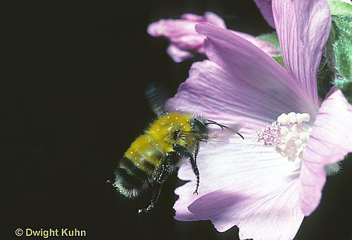 BU38-001z  Bumblebee - in flight - Bombus perplexus