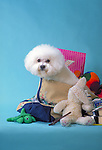Bichon Frise<br /> <br /> <br /> Shopping cart has 3 Tabs:<br /> <br /> 1) Rights-Managed downloads for Commercial Use<br /> <br /> 2) Print sizes from wallet to 20x30<br /> <br /> 3) Merchandise items like T-shirts and refrigerator magnets