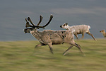 Sporting tremendous antlers cloaked in velvet, a caribou bull prances effortlessly across the tundra's tussock-covered surface.