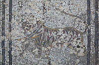 Roman mosaic of a tiger carrying an antelope head, 3rd century AD, from the House of the Wild Animals, Volubilis, Northern Morocco. Volubilis was founded in the 3rd century BC by the Phoenicians and was a Roman settlement from the 1st century AD. Volubilis was a thriving Roman olive growing town until 280 AD and was settled until the 11th century. The buildings were largely destroyed by an earthquake in the 18th century and have since been excavated and partly restored. Volubilis was listed as a UNESCO World Heritage Site in 1997. Picture by Manuel Cohen