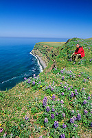 Man rests in the lupine wildflowers along the ridge of the steep cliff coast of St. Paul, Pribilof Islands, Bering Sea, Alaska.