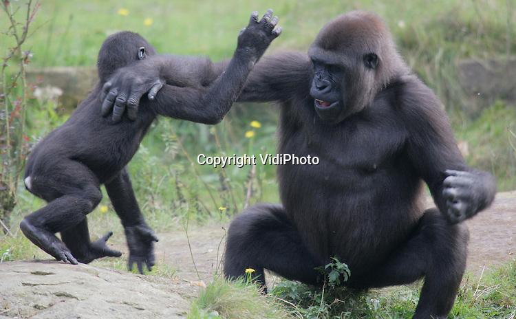 Foto: VidiPhoto..APELDOORN - De gorilladames in de Apenheul in Apeldoorn wachten met smart op hun nieuwe leider. Ruim een jaar na het overlijden van Bongo is er nog steeds geen vervanger, met als gevolg dat één van de vrouwen de baas speelt. Dinsdag maakt Apenheul bekend wie het nieuwe mannetje wordt en waar deze vandaan komt. Apenheul had ooit met 20 gorilla's de grootste gorillagroep in gevangenschap ter wereld.