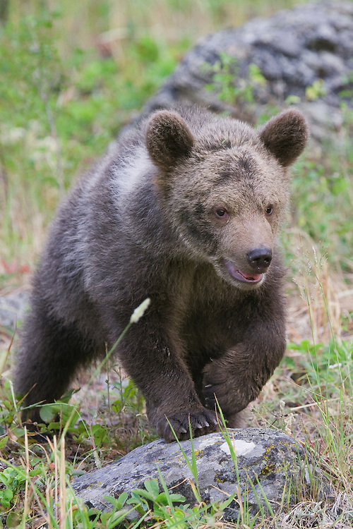 Grizzly bear cub walking over a rock and through a field - CA