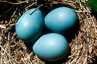 ROBIN EGGS IN NEST<br /> American Robin or True Thrush<br /> Eggs are a uniform greenish blue and are laid in a clutch of four to five. The nest is built of grass and reeds, plastered inside with mud and lined with grasses.