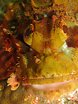 Orchid Island, Taiwan -- Details of a scorpionfish, well camouflaged and patiently waiting for unsuspecting prey.<br />
