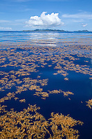 Sargassum floating on a calm Caribbean sea off shore from St. John<br /> U.S. Virgin Islands