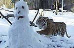 Foto: VidiPhoto<br /> <br /> ARNHEM - De twee Sumatraanse tijgers van Koninklijke Burgers&rsquo; Zoo in Arnhem mochten vrijdag eveneen uurtje naar buiten om in de sneeuw te spelen. In hun ondergesneeuwde buitenverblijf ontdekten ze tot hun grote verrassing een wonderlijk gevaarte. Dierverzorgers van het Arnhemse dierenpark hadden als gedragsverrijking een sneeuwpop gemaakt waarin ze stukjes vlees hadden verstopt. De grote katten wisten de lekkere hapjes te waarderen, maar de sneeuwpop was geen lang leven beschoren. Hoewel Sumatraanse tijgers in het wild geen sneeuw tegenkomen, hebben de dieren er zeker geen hekel aan. In het Arnhemse dierenpark leven in totaal vijf Sumatraanse tijgers: een volwassen man, twee volwassen vrouwen en twee jonge vrouwtjes (tweeling) van ruim twee jaar oud. Het buitenverblijf is voorzien van een schuilgrot met vloerverwarming. Na ongeveer anderhalf uur van de sneeuw genoten te hebben, mochten de tijgers weer hun verwarmde binnenverblijf opzoeken.