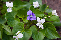 Viola purple and white violets, Viola odorata, Viola sonoria, host plants for butterflies