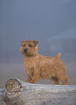 Norfolk Terrier<br /> <br /> <br /> <br /> <br /> <br /> <br /> Shopping cart has 3 Tabs:<br /> <br /> 1) Rights-Managed downloads for Commercial Use<br /> <br /> 2) Print sizes from wallet to 20x30<br /> <br /> 3) Merchandise items like T-shirts and refrigerator magnets