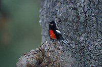 Painted Redstart, Myioborus pictus, singing; Santa Catalina Mountains, Arizona