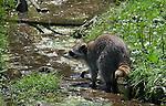 Foto VidiPhoto<br /> <br /> DALEM &ndash; Wasberen zoeken woensdag hun voedsel als verkoeling vooral in het water van de wasberenopvang in het Drentse Dalem. Zoals ouderen vaak tijdens de warmte met hun voeten in een bak met water zitten, doen wasberen hetzelfde, maar dan ook om eten te zoeken. De roofdieren komen voor in grote delen van Amerika en Noord-Europa. De wasberen in Dalem zijn herplaatst via de stichting AAP en veelal afkomstig van particulieren. De dieren zijn helemaal niet zo lief als vaak wordt gedacht en al helemaal niet geschikt als huisdier. Ze openen kasten en deuren en zijn echte vandalen. Bovendien dragen ze vaak een gevaarlijke parasiet met zich mee. Volwassen wasberen kunnen een meter lang worden en komen inmiddels ook in Nederland in het wild voor. Vaak zijn ze dan ontsnapt. De stichting AAP probeert al jaren wasberen op de lijst van verboden huisdieren te krijgen. Opgevangen wasberen uit heel Europa worden door de stichting zoveel mogelijk herplaatst in dierentuinen. Met elf wasberen bezit Dalem een van de grootste wasberengroepen van ons land. Ook Blijdorp en Best hebben grotere wasbeerverblijven.