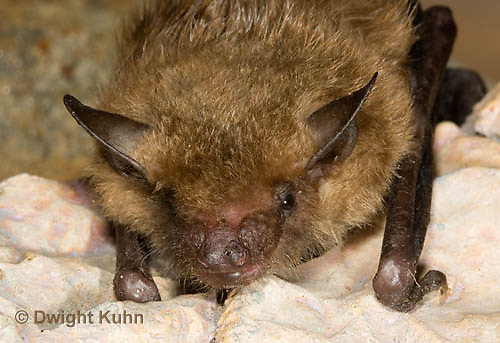 MA20-757z  Big Brown Bat close-up of face, eyes, ears and nose,  Eptesicus fuscus