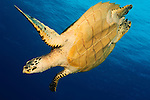 Hawksbill turtle (Eretmochelys imbricata) in the diving position