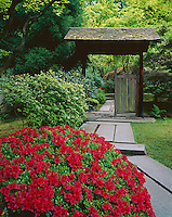 Portland, OR: Red azalea blooms beside path leading to the entrance of the Tea Garden in the Japanese Garden, Washington Park