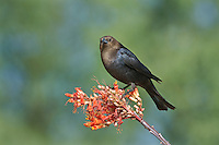 512460018 a wild male brown-headed cowbird molothrus ater perches on a flowering ocotillo plant foqueria splendens in green valley arizona united states