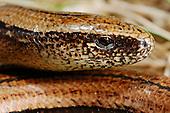 Slow Worm Legless Lizard (Anguis fragilis), Europe.