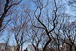 Man climbing trees in Cenral park. Images of New York 2005, New York,U.S.A