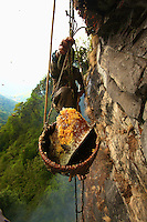 The honey is stored in the bulging part of the nest, attached to the rock. To collect it, the Perengge must position the bamboo basket by maneuvering another pole held at arm&rsquo;s length, underneath the part he is preparing to cut away with the other pole. <br /> From the top of the cliff, two men adjust the tension of the rope supporting the basket, guided solely by orders yelled out by Bolo Kesher&rsquo;s son, who is stationed further off to have an overall view of the site. It is a coordinated effort that is accomplished blindly and on which the harvest&rsquo;s success heavily depends.