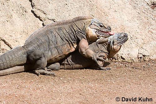 0629-1105  Mating Exuma Island Iguana (Northern Bahamian Rock Iguana), Bahamas, Cyclura cychlura figginsi  © David Kuhn/Dwight Kuhn Photography
