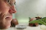 Foto: VidiPhoto<br /> <br /> RHENEN - Een medewerker van Ouwehands Dierenpark in Rhenen toont maandag een nog jonge bijengifkikker. De eerste kweekkikker is binnenkort ook te zien voor het publiek. Achter de schermen zijn zestien jonge bijengifkikkers geboren, die op dit moment in verschillende stadia van hun ontwikkeling in kweekbakken worden bewaard. Om te voorkomen dat deze diersoort uit het wild (Zuid-Amerika) wordt gehaald, is Ouwehands een succesvol fokprogramma met deze ondersoort van de pijlgifkikker gestart. De Rhenense dierentuin wil hiermee ook andere Europese dierentuinen voorzien van gifkikkers. Het gif van deze kikkersoort wordt door Indianenstammen gebruikt om op de punt van hun pijlen te smeren, die met een blaaspijp worden afgeschoten op dieren. De kikkers in Ouwehands zijn niet meer giftig.