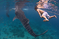 A tourist swimming towards two whale sharks in Oslob, Philippines. Ever since the discovery of this place the controversy of feeding wild migratory animals remains. While the fishermen have found themselves a great alternative income, environmentalists are sceptic about the outcome of the tourism here and fear the whale sharks behavior might be altered due to the daily feeding.