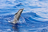 Pantropical Spotted Dolphin, Stenella attenuata, jumping out of boat wake, matured adult with white beak tip, off Kona Coast, Big Island, Hawaii, Pacific Ocean.