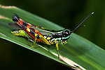 Grasshopper, Tetataenia surinama, Iquitos, Peru, jungle, amazon, on leaf, brightly coloured, red, blue, yellow.South America....