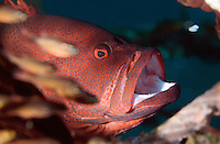 "September 9th 2007- Bali, Indonesia- A type of Grouper at a dive site known as ""Café Garam,"" which is located near the Amed area of North East Bali.  Photograph by Daniel J. Groshong/Tayo Photo Group"