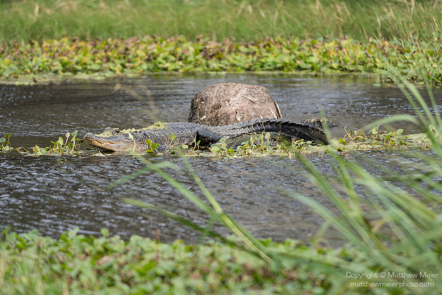 Columbia Ranch, Brazoria County, Damon, Texas; an adult American Alligator (Alligator mississippiensis) resting on a submerged tree trunk in the middle of the slough