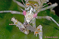 "0406-07mm  Spiny Flower Mantis (#9 Mantis) - Pseudocreobotra wahlbergii ""Female"" - © David Kuhn/Dwight Kuhn Photography"