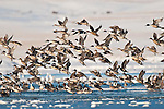 flocks of northern pintail duck migrating snow background