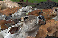 Buffalo flies are incredibly thick on cattle at the beginning of the wet. The eggs lie in the dust all year waiting for the first rain, and when it comes the eggs explode.  The job of a buffalo fly is to lick sweat off cattle (or any animal) and then deposit it's eggs in the dung.