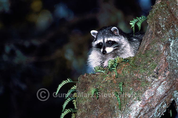 Wild Raccoon (Procyon lotor) climbing a Tree Branch at Night