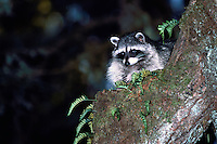 Wild Raccoon (Procyon lotor) climbing a Tree Branch at Night