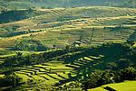 Rice fields close to Liang Bua cave, Manggarai, Flores