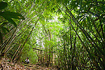 An explorer is dwarfed by giant bamboo near Keluru, Kerinci Seblat National Park, Sumatra.