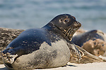 Children's Pool, La Jolla, California; Harbor Seal(s) (Phoca vitulina)