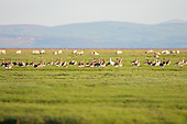 Greylag Goose (Anser anser) Group grazing on the saltmarsh, with a white Goose amoungst them. The Greylag species is the ancestor of domesticated geese in Europe and North America.