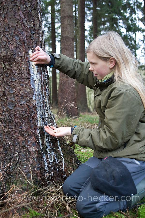 Kind, Kinder sammeln Baumharz, Harz, Fichtenharz tritt an einem verletzten Stamm einer Fichte aus