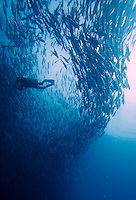 Sipadan island is known as one of the worlds top diving destinations. The abundance of turtles in particular is amazing, but seeing sharks and  big schools of Barracuda or Jackfish (pictured) is also virtually guaranteed.