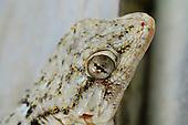 Moorish Wall Gecko (Tarentola mauritanica), Italy.