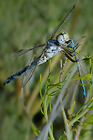 389270018 a wild male bleached skimmer libellula composita feeds on a damselfly while perched on a plant near the sulfa ponds in mono county california