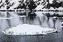 Norway, Svalbard, Brünnich's guillemots (Uria lomvia) on ice floe