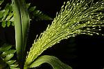 Green Fan of Millet