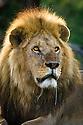 Male African Lion (Panthera leo) (Half-tail) at Big Marsh, near Ndutu, Nogorongoro Conservation Area / Serengeti National Park, Tanzania.