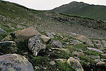 White-tailed Ptarmigan (Lagopus leucurus), Sangre de Cristo Wilderness, San Isabel National Forest, Colorado
