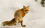 This red fox is in the process of burying food in the snow for later consumption in Yellowstone National Park, Wyoming.  Photo by Gus Curtis.