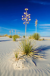 Soaptree Yucca (Yucca elata) and dunes, White Sands National Monument, New Mexico USA