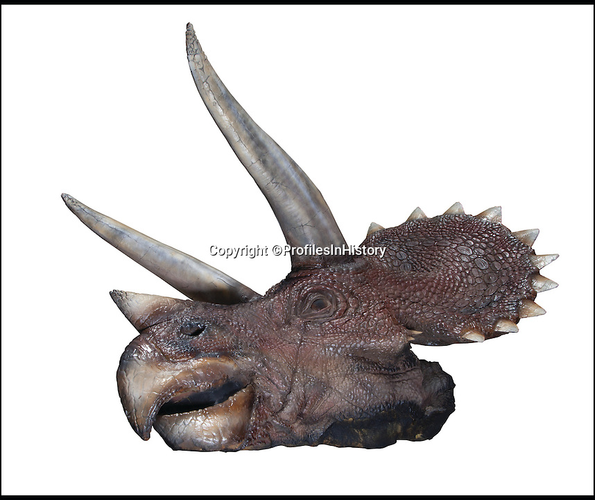 BNPS.co.uk (01202  558833)<br /> Pic: ProfilesInHistory/BNPS<br /> <br /> **Pease Use Full Byline***<br /> <br /> A Triceratops prop from the Jurassic Park films. <br /> <br /> <br /> Ten full-sized dinosaurs used in Jurassic Park are tipped to sell for &pound;100,000.<br /> <br /> The models include the huge head of the Tyrannosaurous Rex that wreaked havoc on the theme park of cloned dinosaurs and ate other monsters and humans alike.<br /> <br /> There are also two whole Velociraptors that were featured in the Steven Speilberg's 1993 sci-fi film chasing the two children into a locked room.<br /> <br /> They are being sold at auction by US-based Profiles in History.